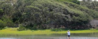 A man on a stand up paddle board, paddles through the marsh with a maritime forest in the background.