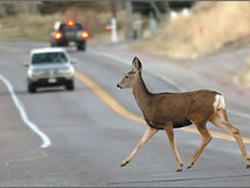 Deer running across the highway