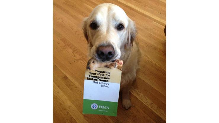 Golden retriever holding preparedness brochure