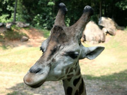 Giraffe at the NC Zoo