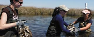 Young women moving clumps of oyster shells in water