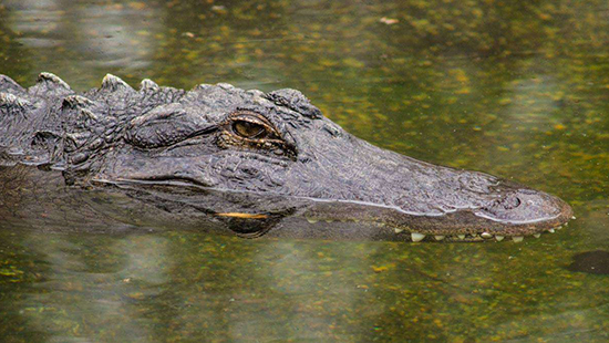Alligator at the cypress swamp habitat at NC Zoo. Photo courtesy of the NC Zoo website.