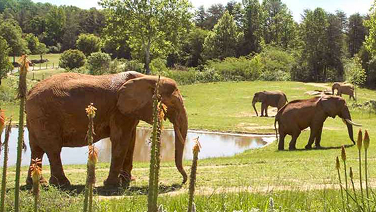 Elephants at NC Zoo. Photo courtesy of the NC Zoo website.