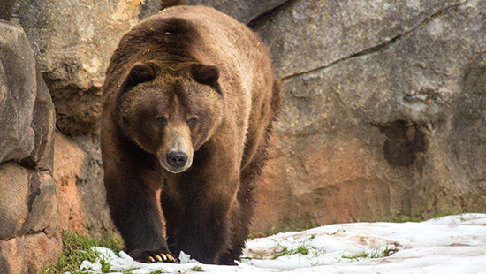 Grizzly bear at NC Zoo. Photo courtesy of the NC Zoo website.