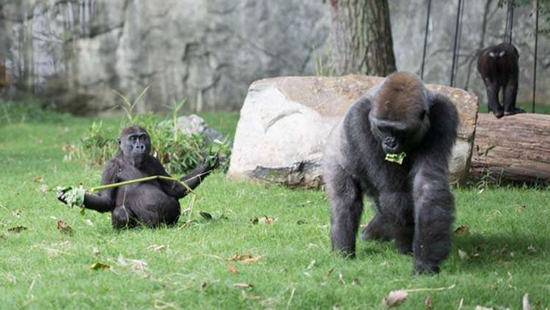 Gorillas at NC Zoo. Photo courtesy of the NC Zoo website.