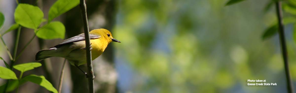 Prothonotary Warbler at Goose Creek State Park
