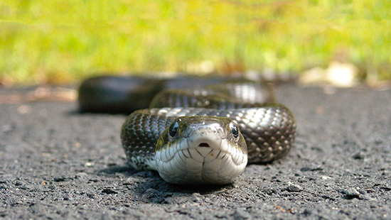 Black rat snake, Jordan Lake State Recreation Area. By K. Bischof.