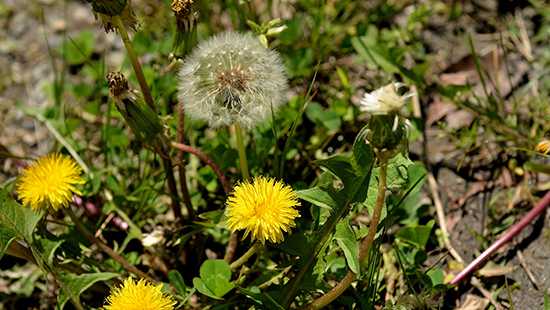 Common dandelion – Stone Mountain State Park – J. Mickey