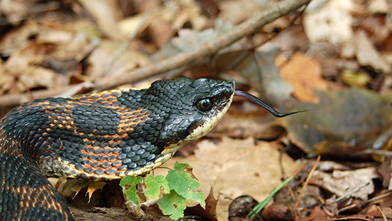 Eastern hognose snake – Stone Mountain State Park – Photo by J. Mickey