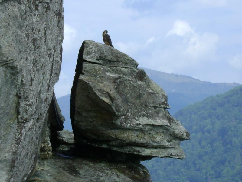 Falcon on cliff