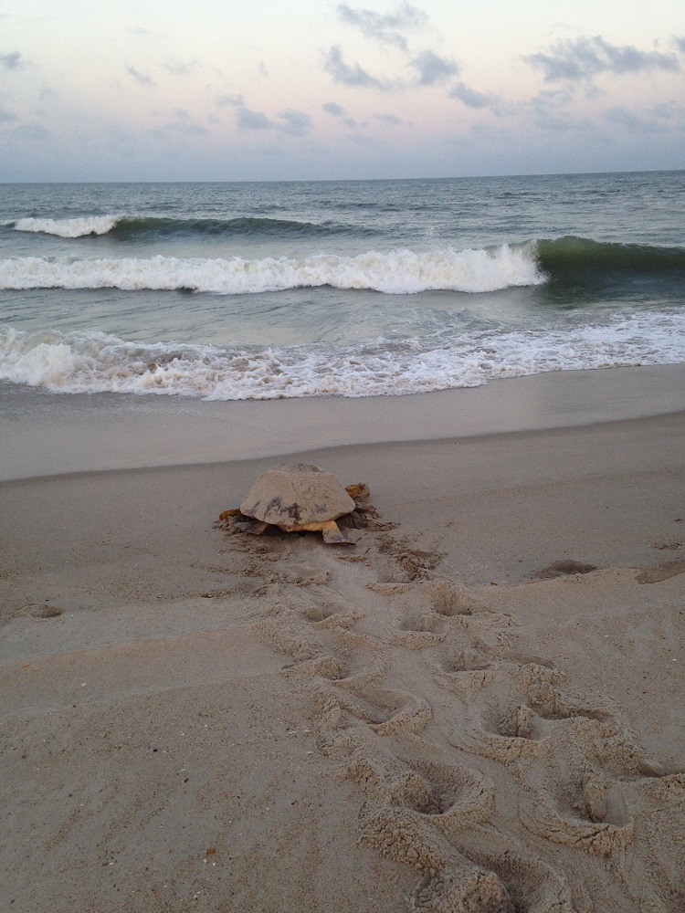 Loggerhead turtle returning to ocean after nesting on Fort Fisher