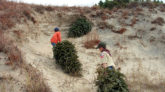 Local Boy Scouts place discarded Christmas trees as part of the Fort Macon dune stabilization efforts.