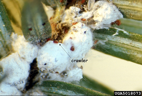 Individuals of hemlock woolly adelgid covered with white wool (see crawler emerging). Pennsylvania Department of Conservation and Natural Resources - Forestry Archive.