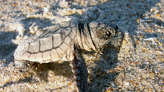 Loggerhead sea turtle at Fort Macon State Park. Photo by R. Newman.
