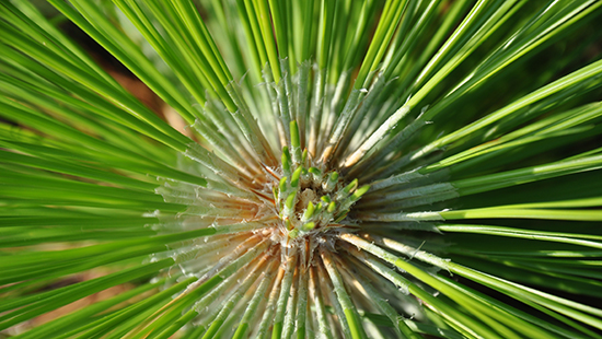 Longleaf pine – Goose Creek State Park – K. Bischof
