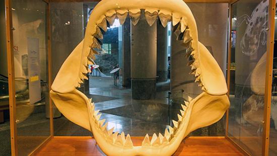Megalodon teeth – North Carolina Museum of Natural Sciences