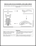 Screenshot of Beetle Life Cycle diagram labeling and coloring worksheet
