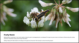 Screenshot of the Firefly Watch page on the Museum of Science website