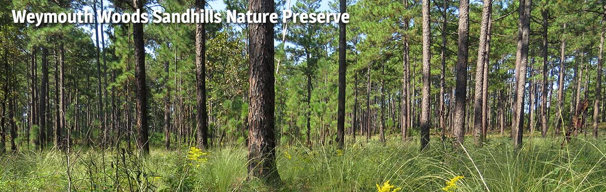 Spring in the longleaf pine forests of Weymouth Woods-Sandhills Nature Preserve
