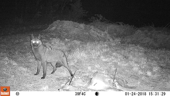 A melanistic coyote photographed at night by a wildlife camera