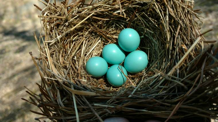 Blue Bird eggs at Haw River State Park