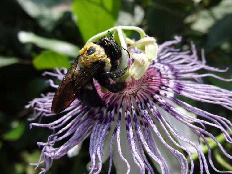 Carpenter bee on passion flower