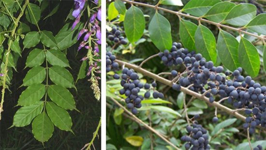 Chinese wisteria and Chinese privet