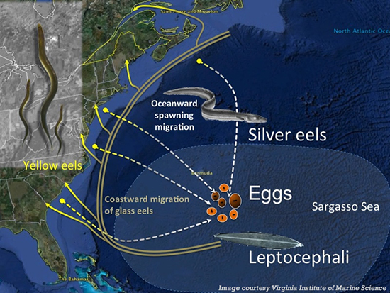 Graphic: Migration of an eel during its life cycle