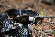 Black rat snake - Stone Mountain State Park - Photo by J Mickey