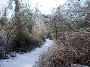Supple-jack trail at Dismal Swamp State Park
