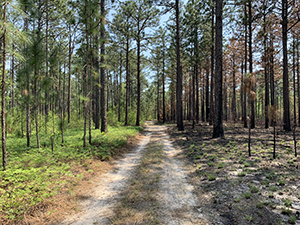 Fox Squirrel Loop Trail at Carvers Creek State Park, Fayetteville, NC