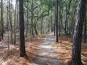Evergreen Trail at Hammocks Beach State Park. Photo by B. Swanson.