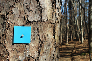 Blue squares on trees mark the way along Loblolly Trail.