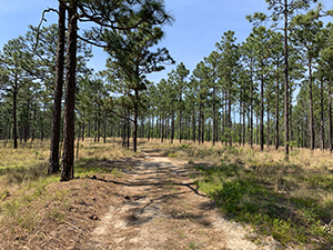 Longleaf Pine Trail at Carvers Creek State Park, Fayetteville, NC
