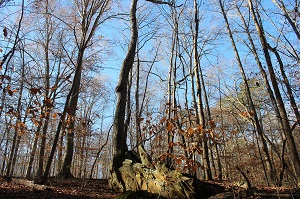 Oak tree growing out of rock outcropping.