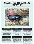 Anatomy of a Bess Beetle info sheet screenshot