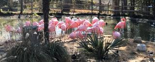 Pink Flamingos in a pond at Sylvan Heights Bird Park