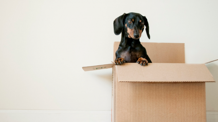 A dachshund in a moving box on moving day.