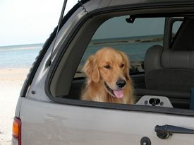 golden retriever riding in a car